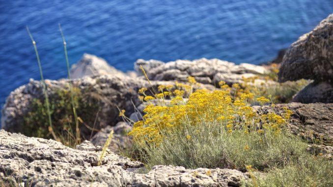 Planting Helichrysum Italicum Immortelle Flower Seeds in your backyard