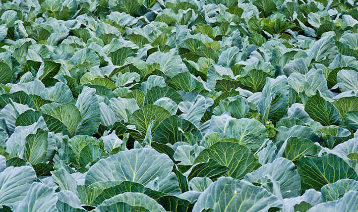 Cabbage Companion Crops: Pairings for Success