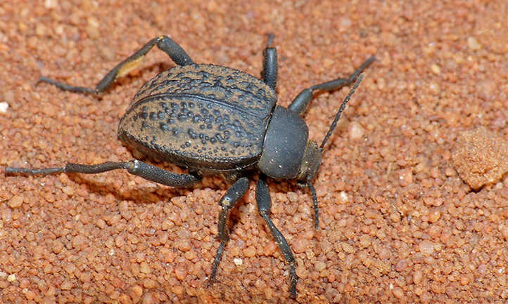 Darkling Beetle Issues: Prevention and Administration