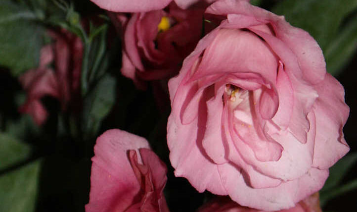 Lisianthus: like a rose, however totally different