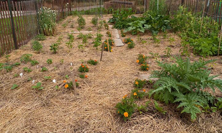 Straw mulch: shield your greens